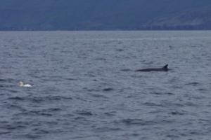 Ein Minke Whale!